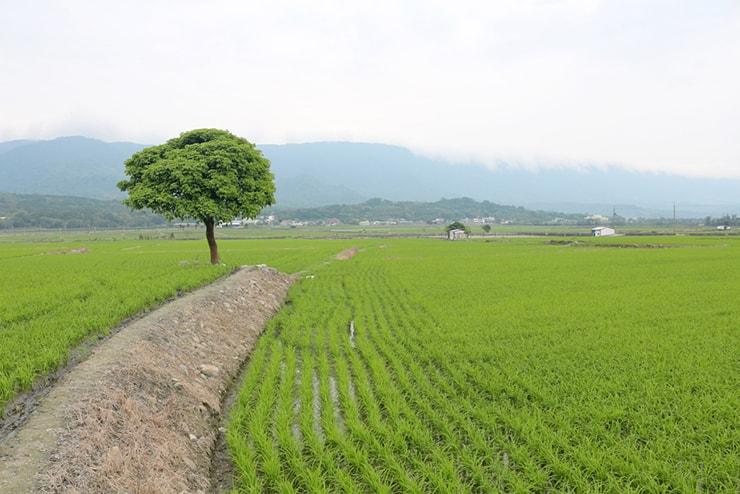 台湾の米どころ台東・池上「池上平原」の田園風景に佇む一本の木