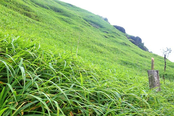 花蓮・六十石山の一面に広がる金針花の葉