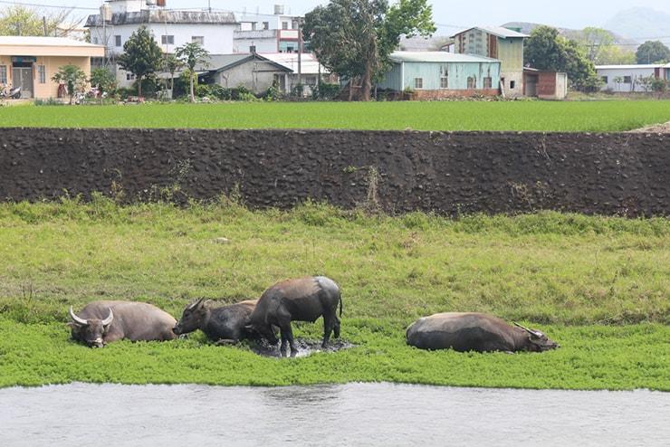 台東・關山のサイクリングロードから見える牛の群れ
