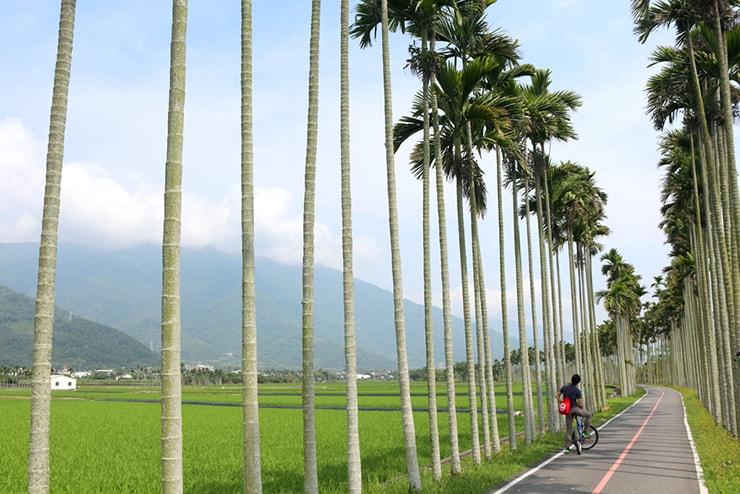 台東・關山のサイクリングロードの両側に伸びる檳榔(ビンロウ)の木