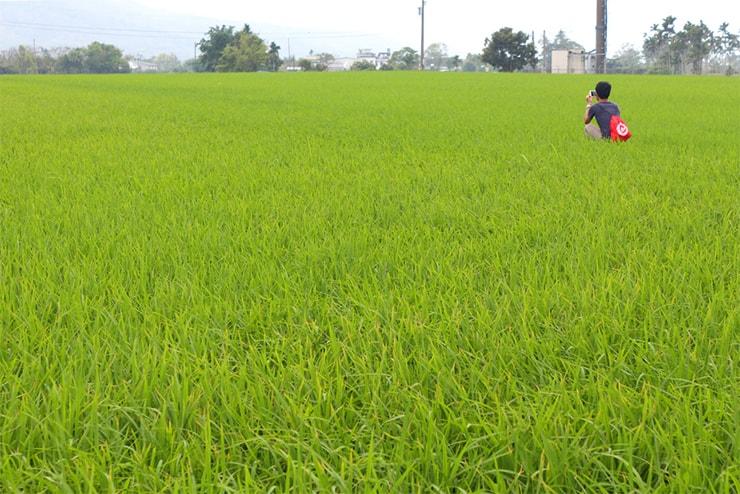 台東・關山の緑の稲穂が一面に広がる水田