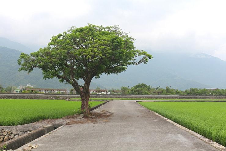 台東・關山の水田地帯に佇む一本の木