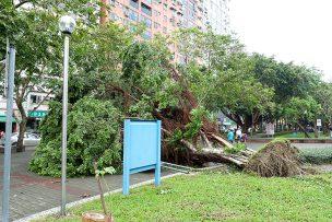 台湾の台風でなぎ倒された公園の巨木
