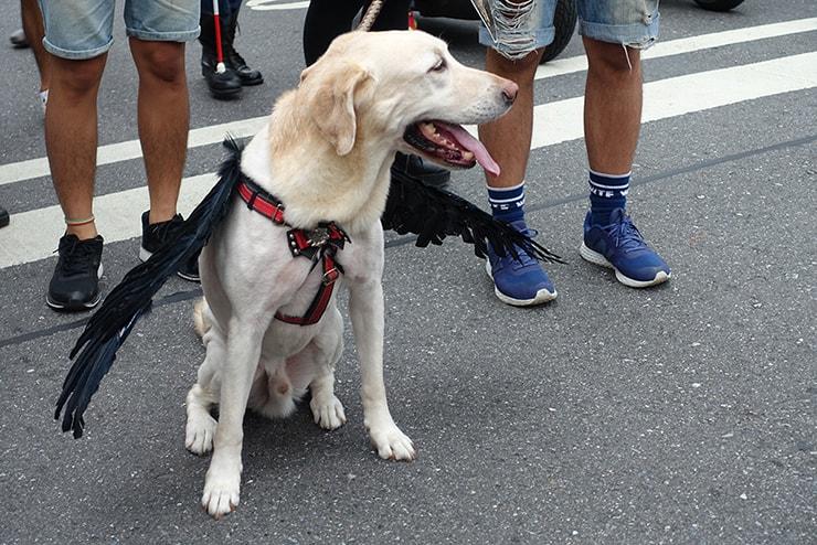 台灣同志遊行(台湾LGBTプライド)2016のパレードで羽をまとったラブラドール犬