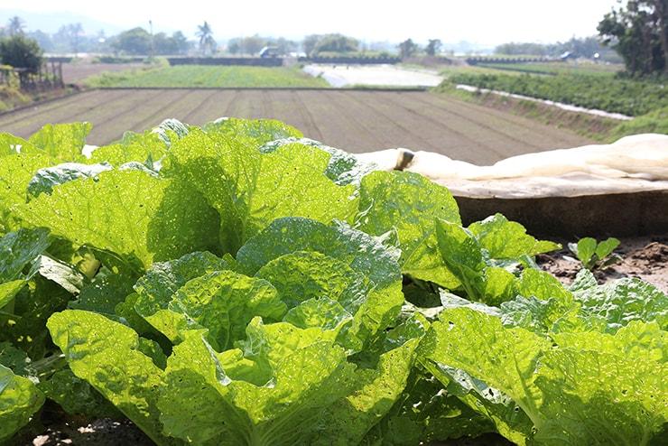 高雄・美濃の畑に植わった葉物野菜