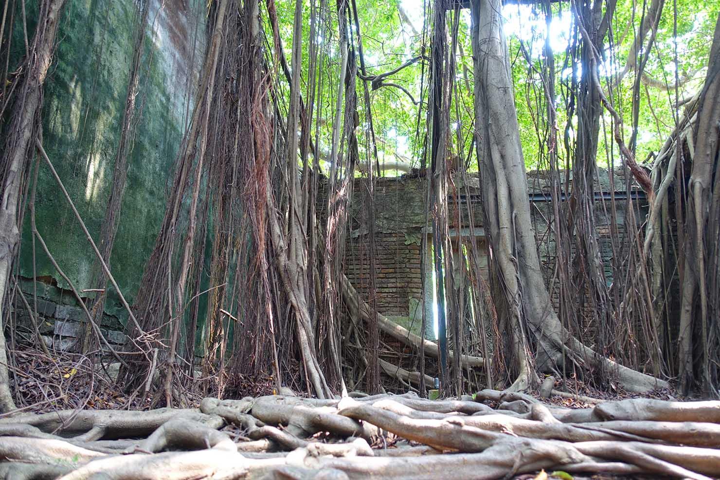 台湾の古都・台南のおすすめ観光スポット「安平樹屋」内部に伸びる榕樹(ガジュマル)の根