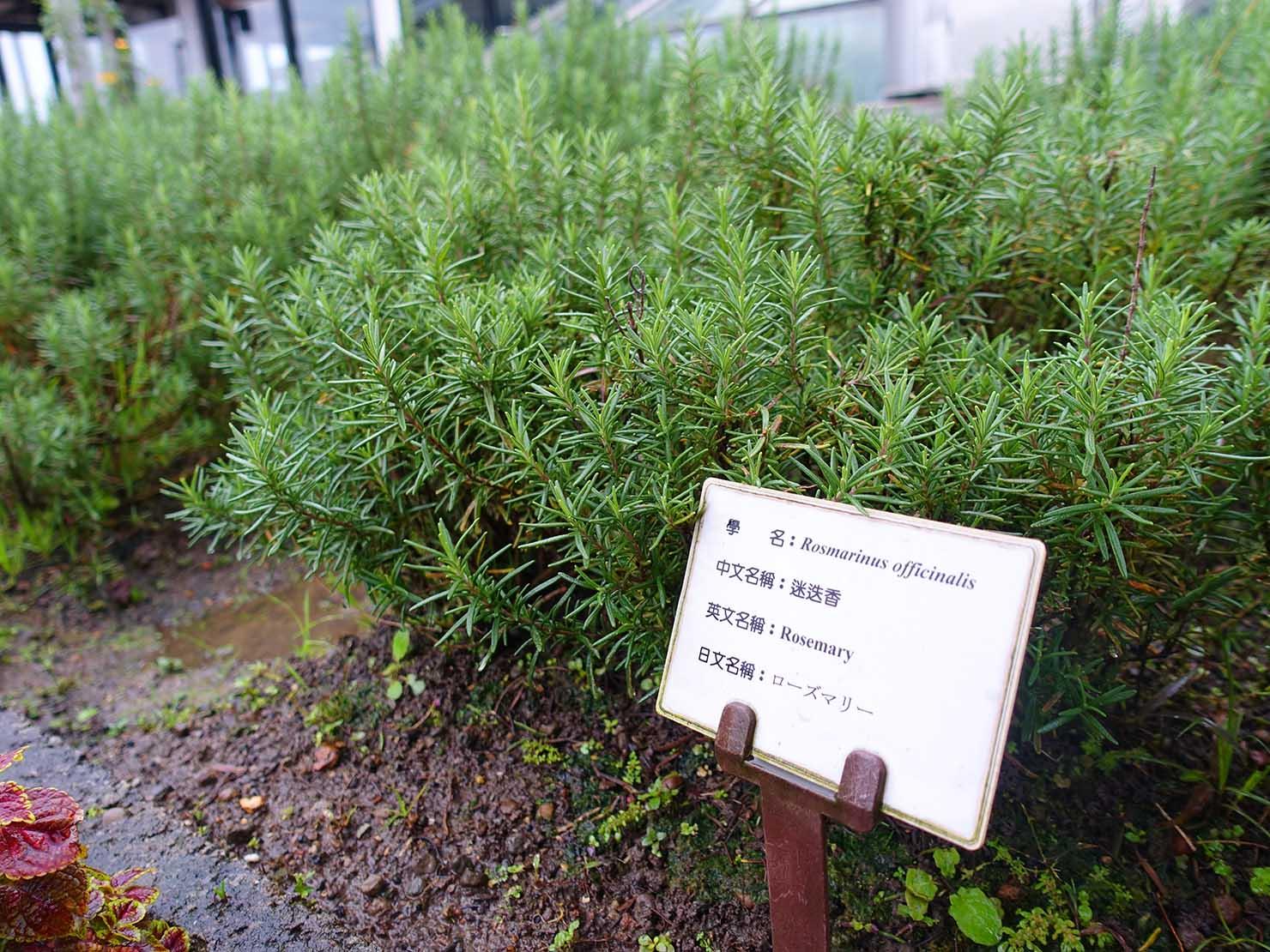 台北のおすすめ4つ星ホテル「歐華酒店(リビエラホテル)」の屋上ガーデンに育つローズマリー