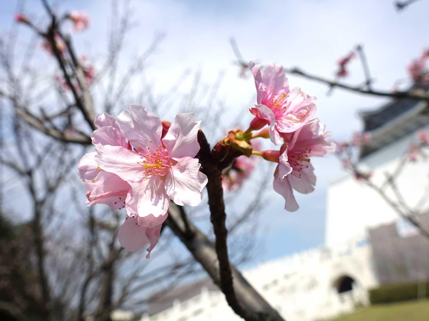 春節(旧正月)を迎えたの台北の観光スポット「中正紀念堂」に咲く桜