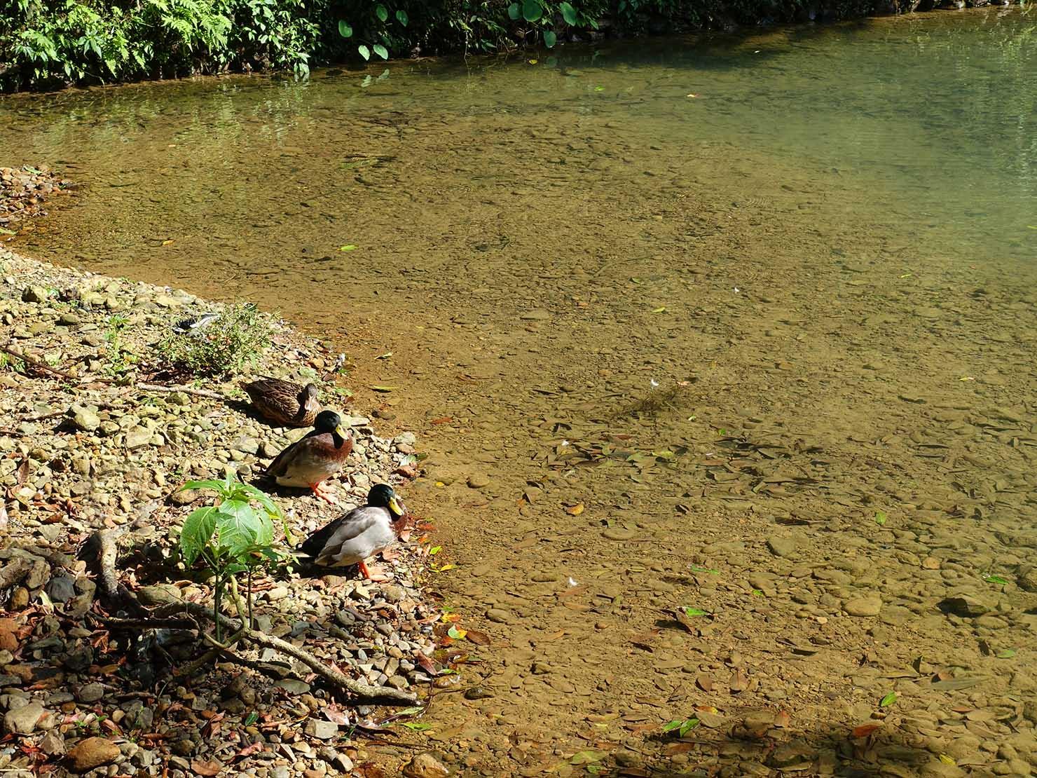 台北・烏來温泉から行けるテーマパーク「雲仙樂園」園内に暮らす鴨の一家
