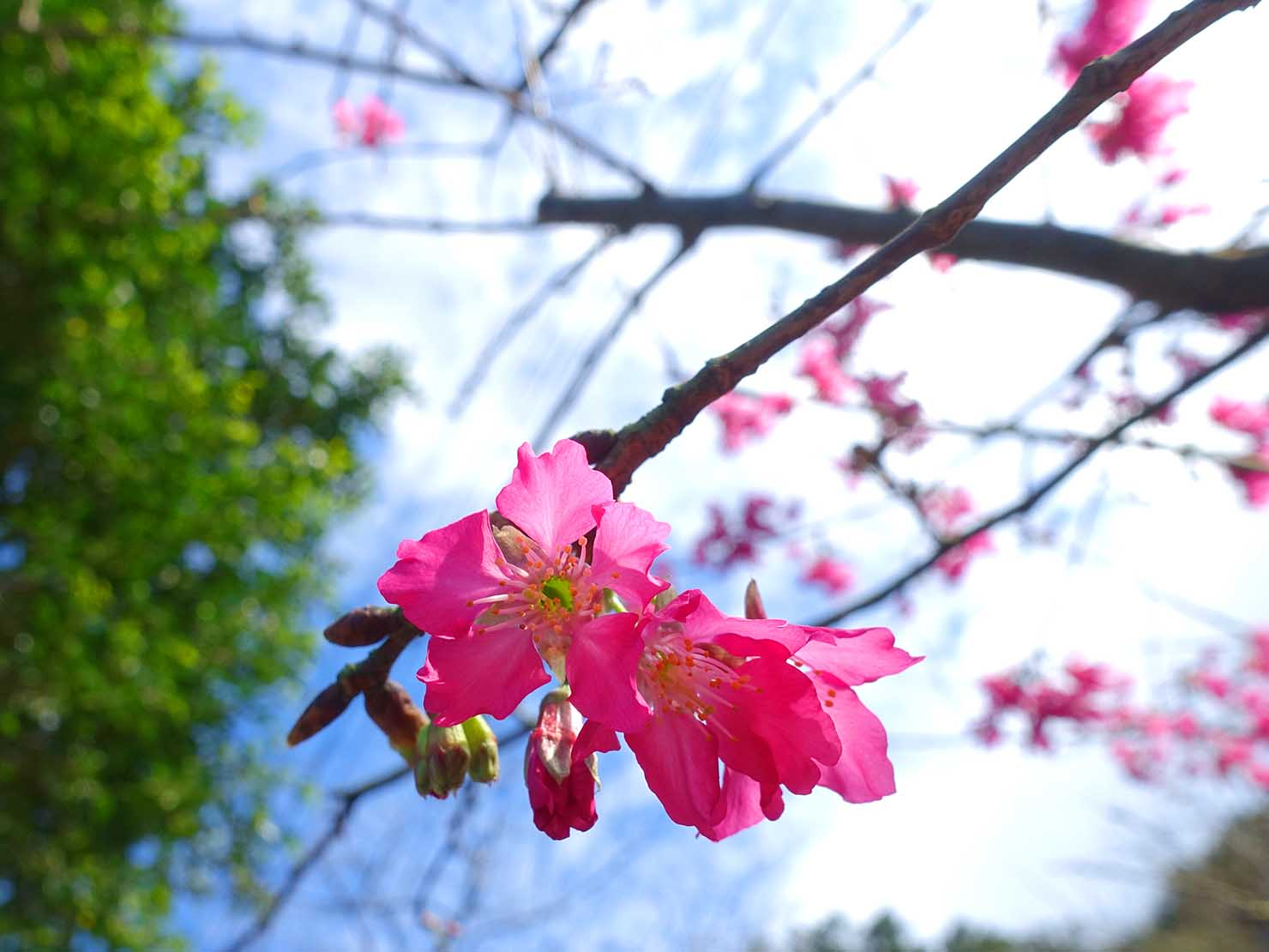 台北・九份にさく台湾の赤い桜