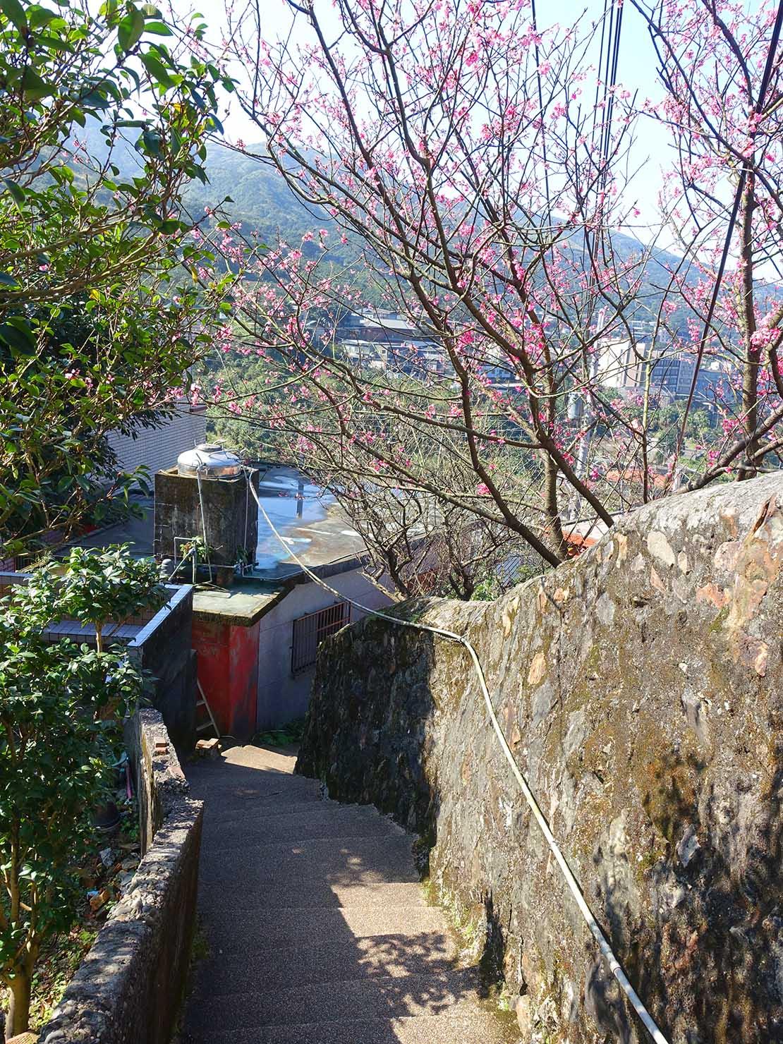 台北・金瓜石に咲く桜