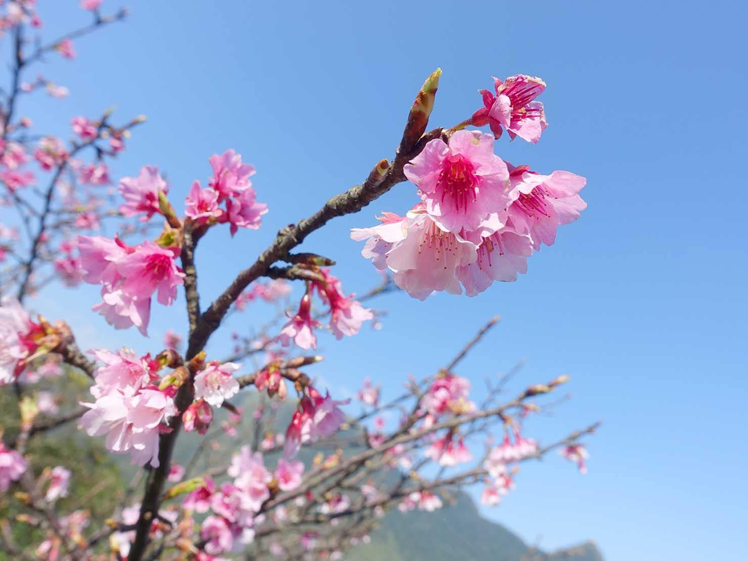 台北・金瓜石に咲く桜のクローズアップ
