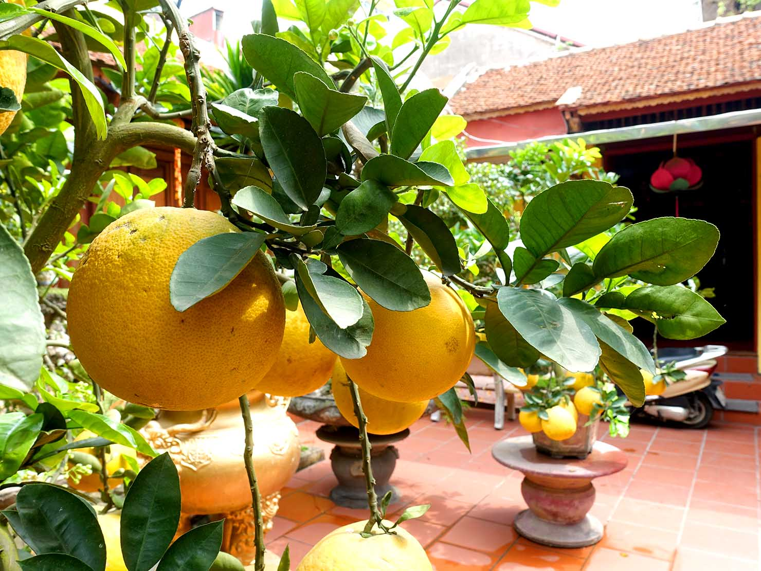 ベトナム・ハノイ旧市街の廟に植わる柑橘類の木