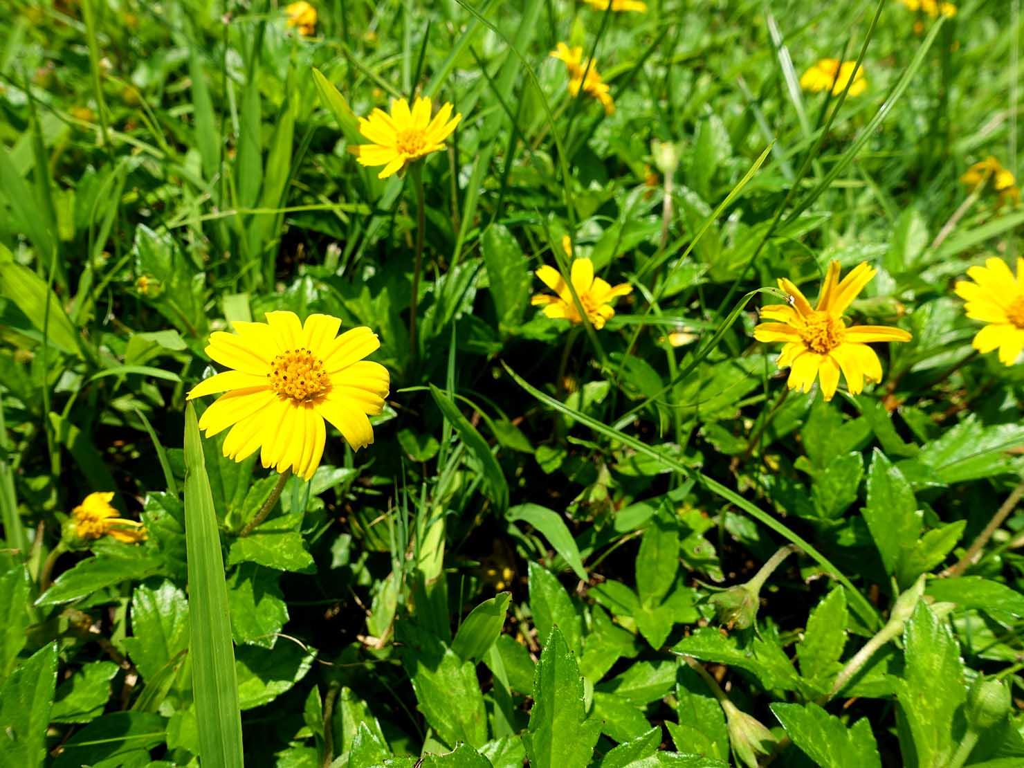 台北一周自転車道「古亭河濱公園」に咲く黄色い花