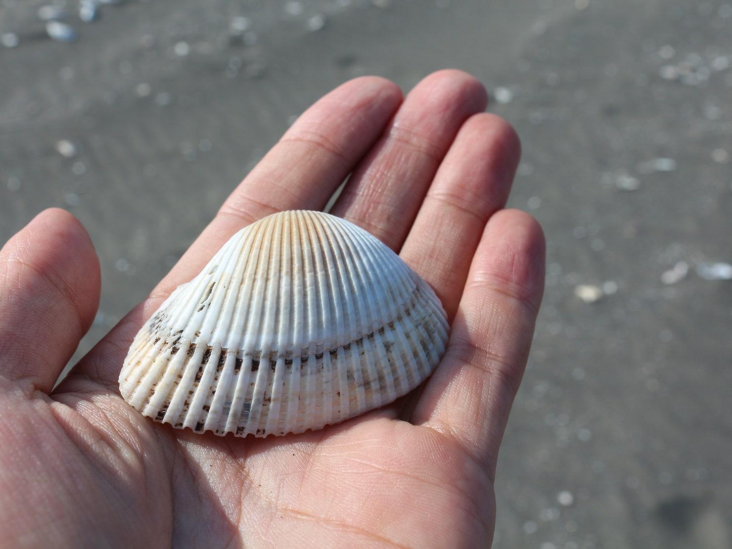 台南市街郊外のおすすめ観光スポット「台江國家公園」の海岸に落ちていた貝殻