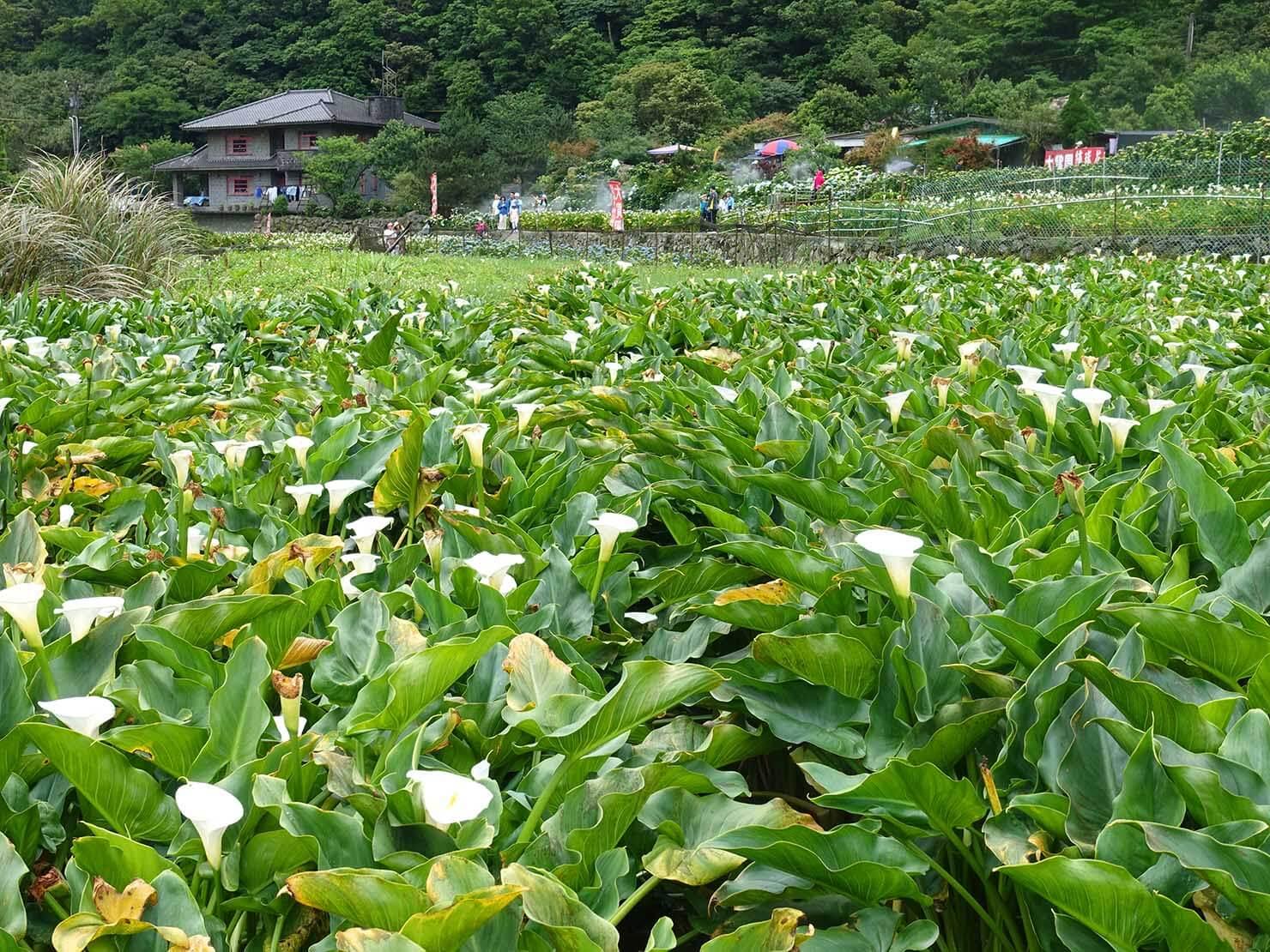 台北・陽明山のおすすめスポット「竹子湖」に咲く海芋