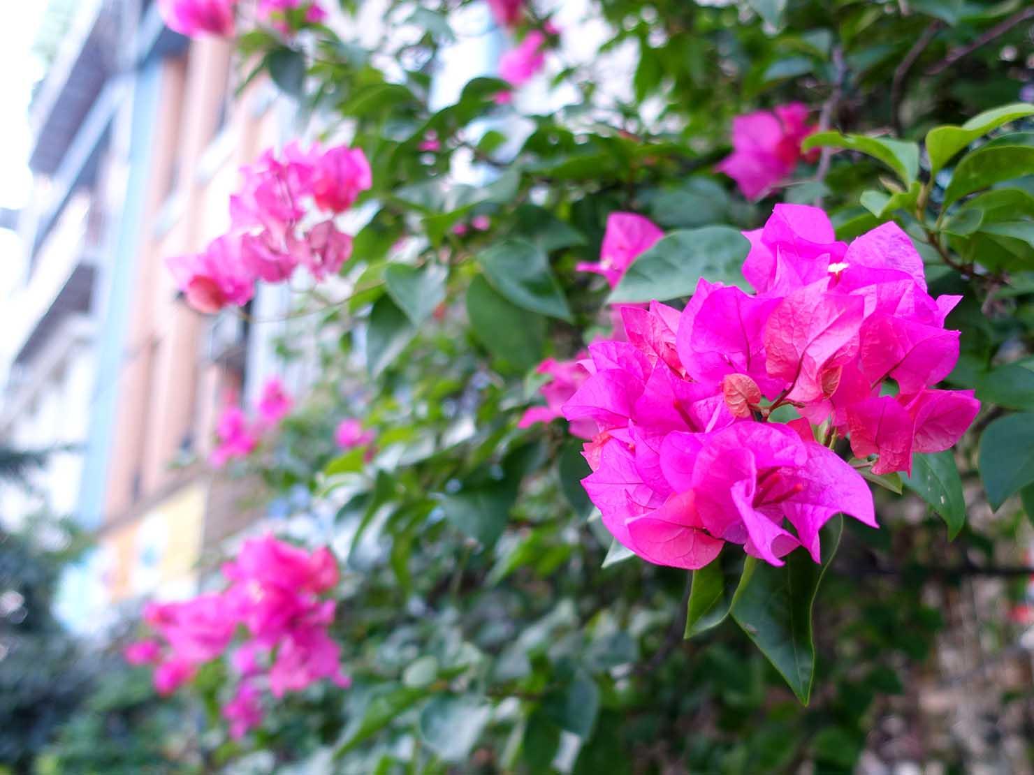 台湾でよく見かける植物「九重葛(ブーゲンビリア)」