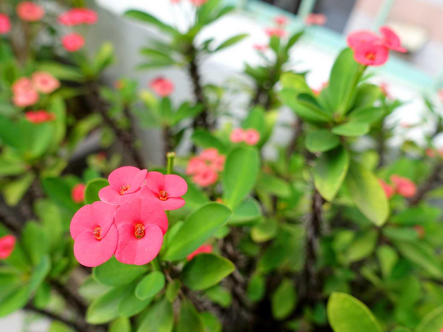 台湾でよく見かける植物「麒麟花(ハナキリン)」の花