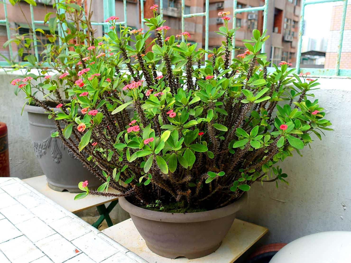 台湾でよく見かける植物「麒麟花(ハナキリン)」
