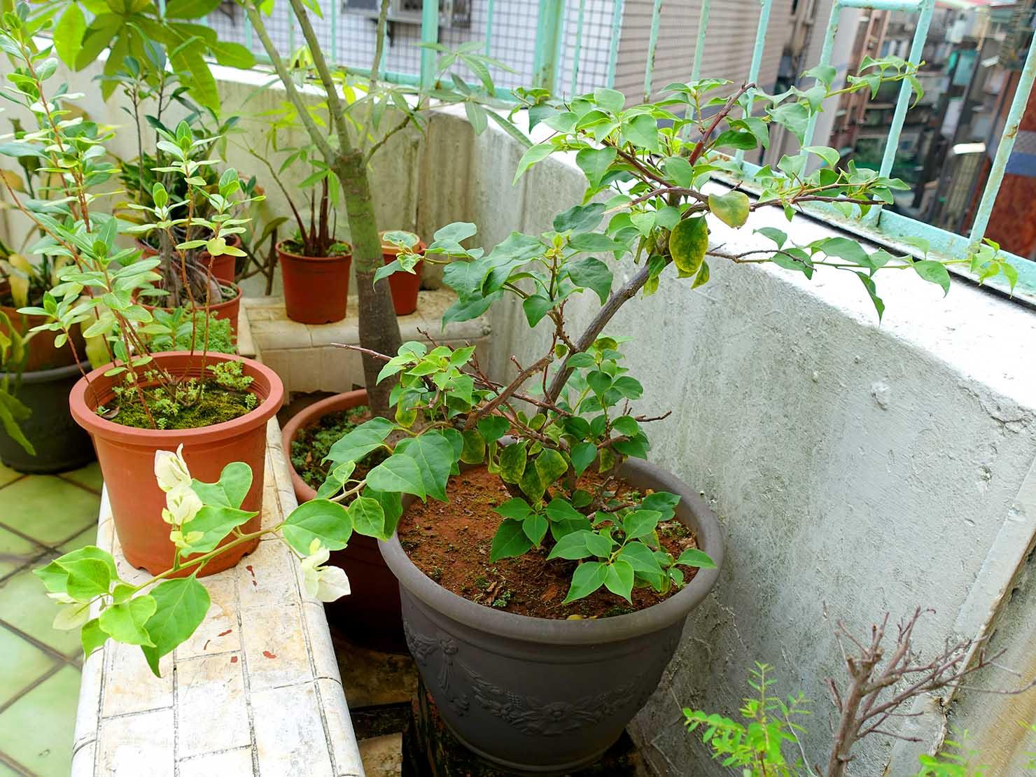 台湾でよく見かける植物「九重葛(ブーゲンビリア)」の鉢植え