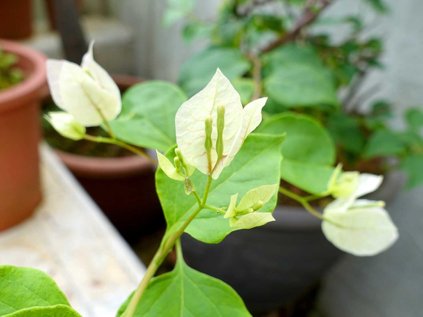 台湾でよく見かける植物「九重葛(ブーゲンビリア)」の花