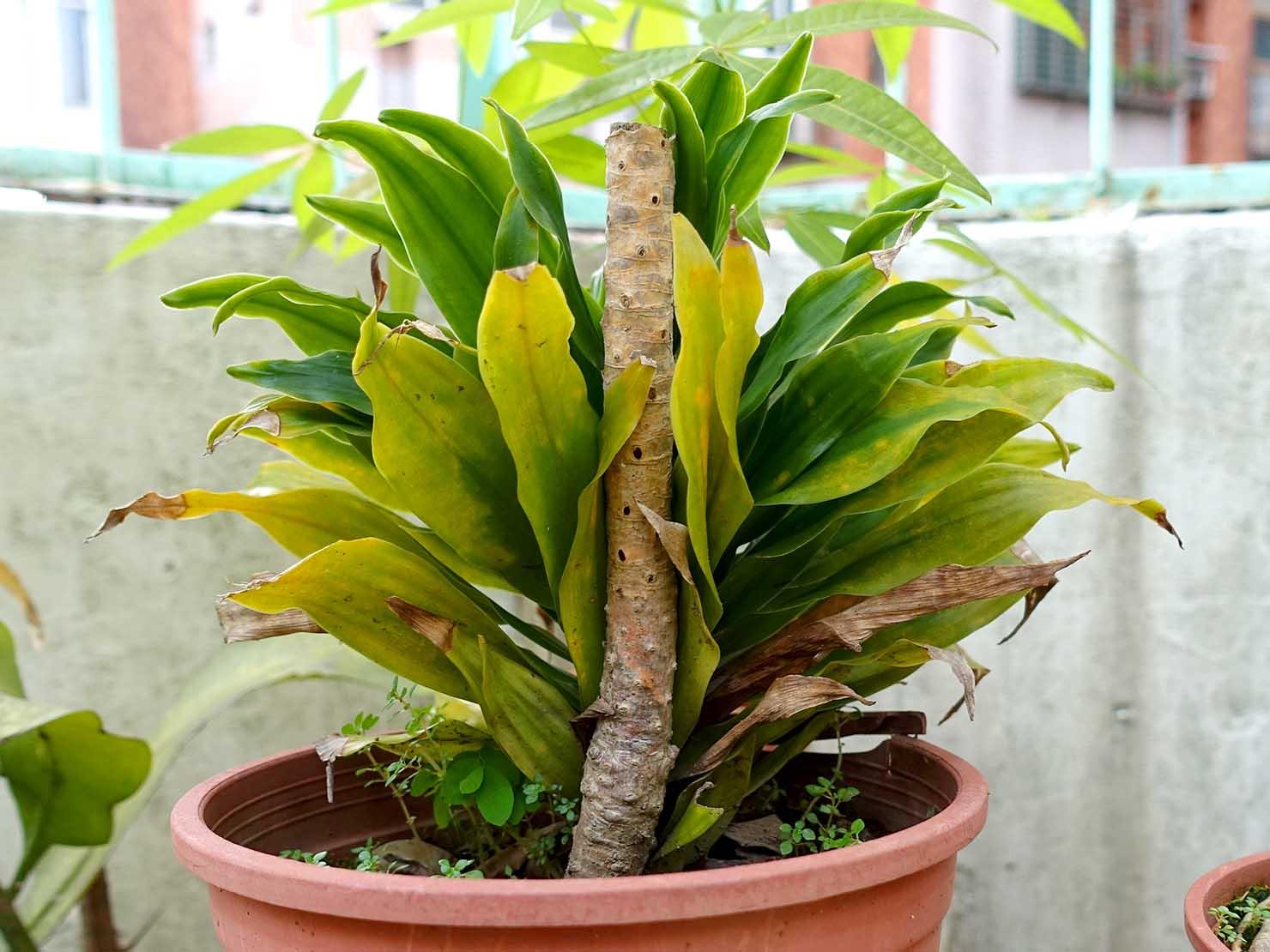 台湾生活で育てている植物「阿波羅千年木」の幹