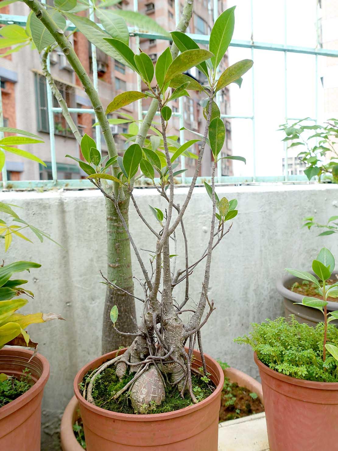 台湾でよく見かける植物「榕樹(ガジュマル)」の鉢植え