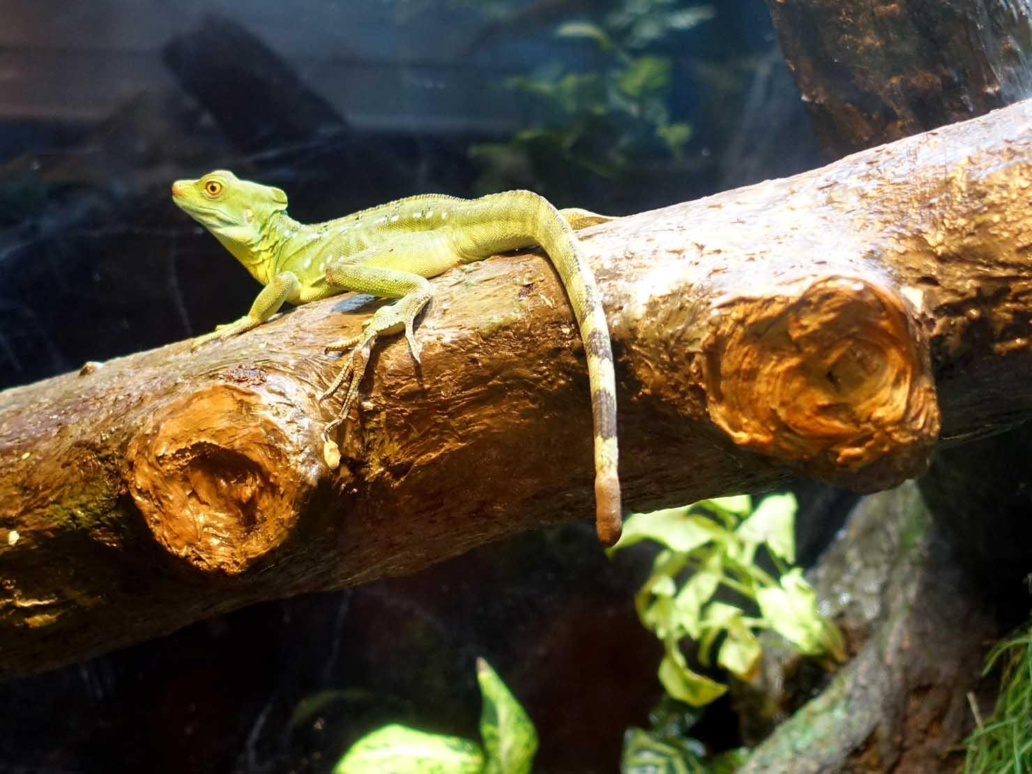 台北に誕生した都市型水族館「Xpark」内エリア「雨林探險」のトカゲ